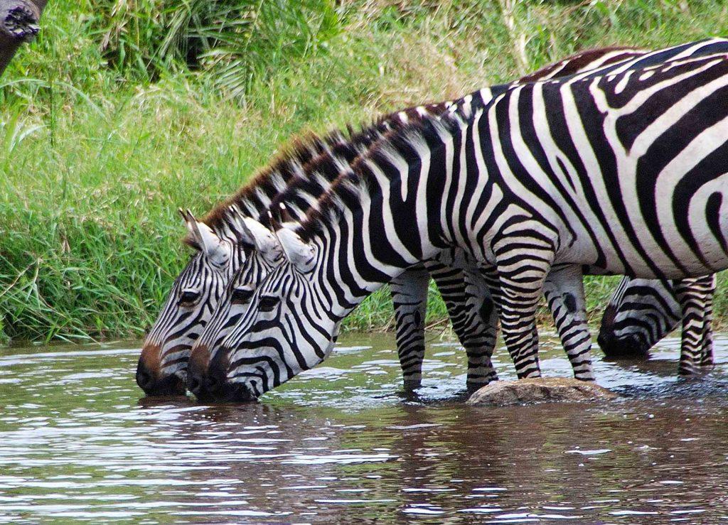 Cebras bebiendo y en alerta