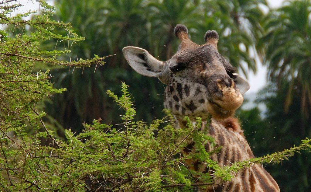 Jirafa, parque nacional de Tarangire