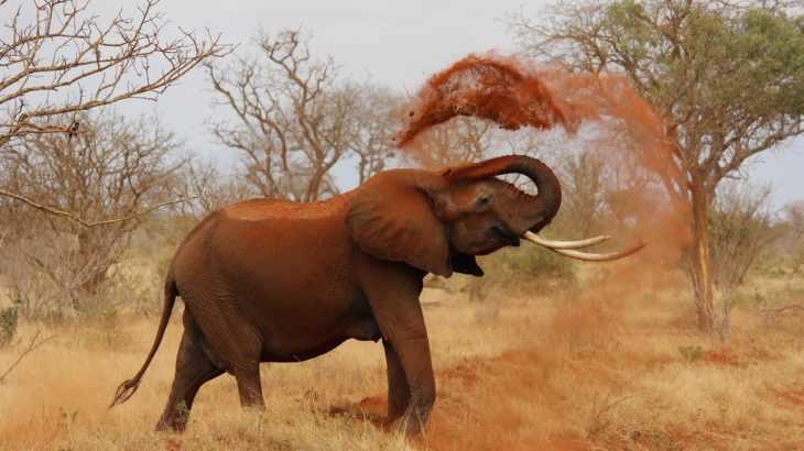 elefante de africa