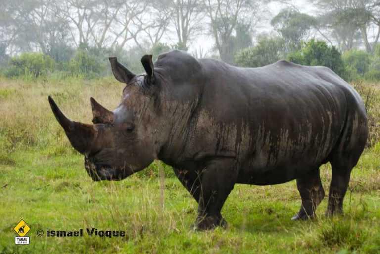 rinoceronte tanzania