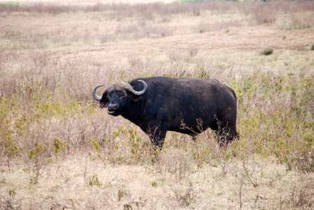 bisonte africano