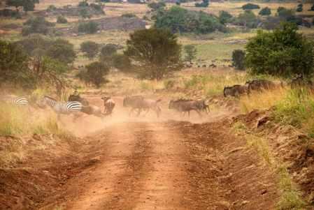 cebras cruzando un camino