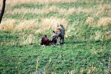 hiena comiendo