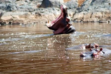 hipopotamos en el rio