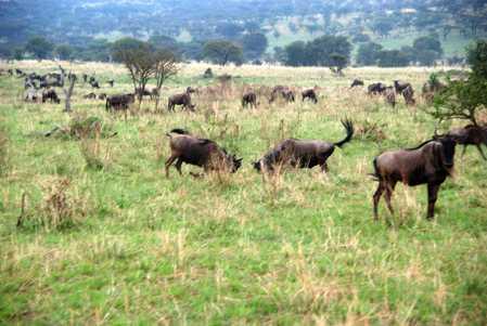 ñus en la pradera